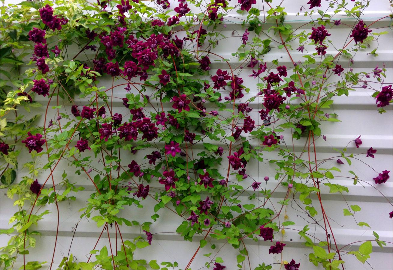 explozie de culoare flori agatatoare