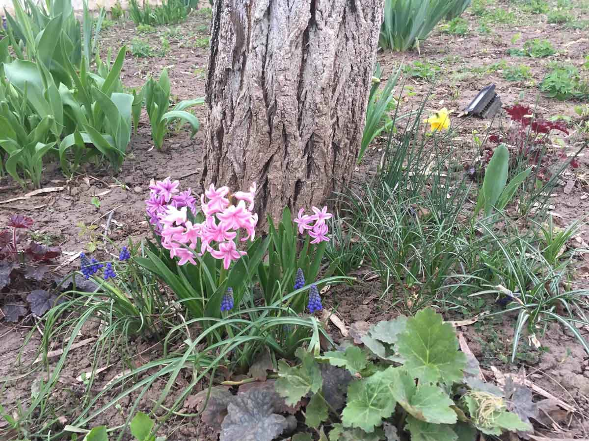 zambile flori
