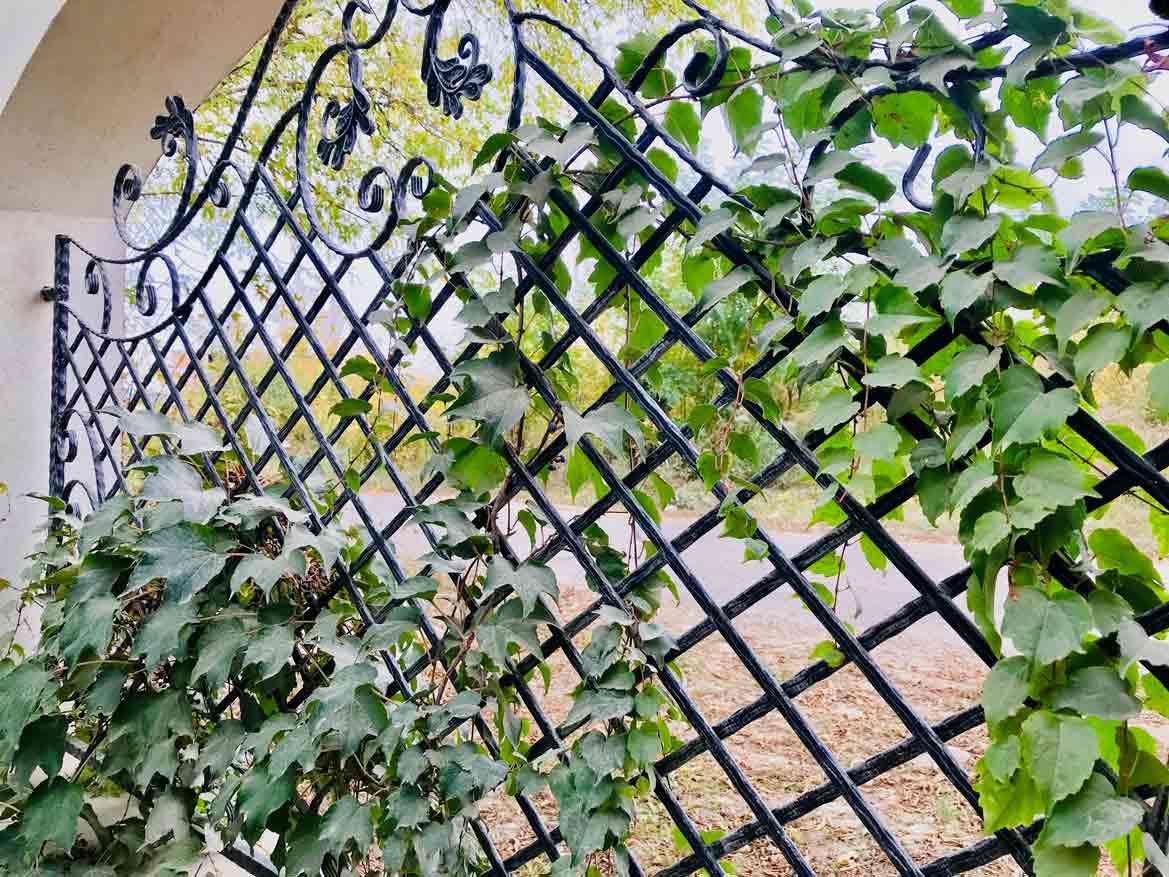 plante cățărătoare