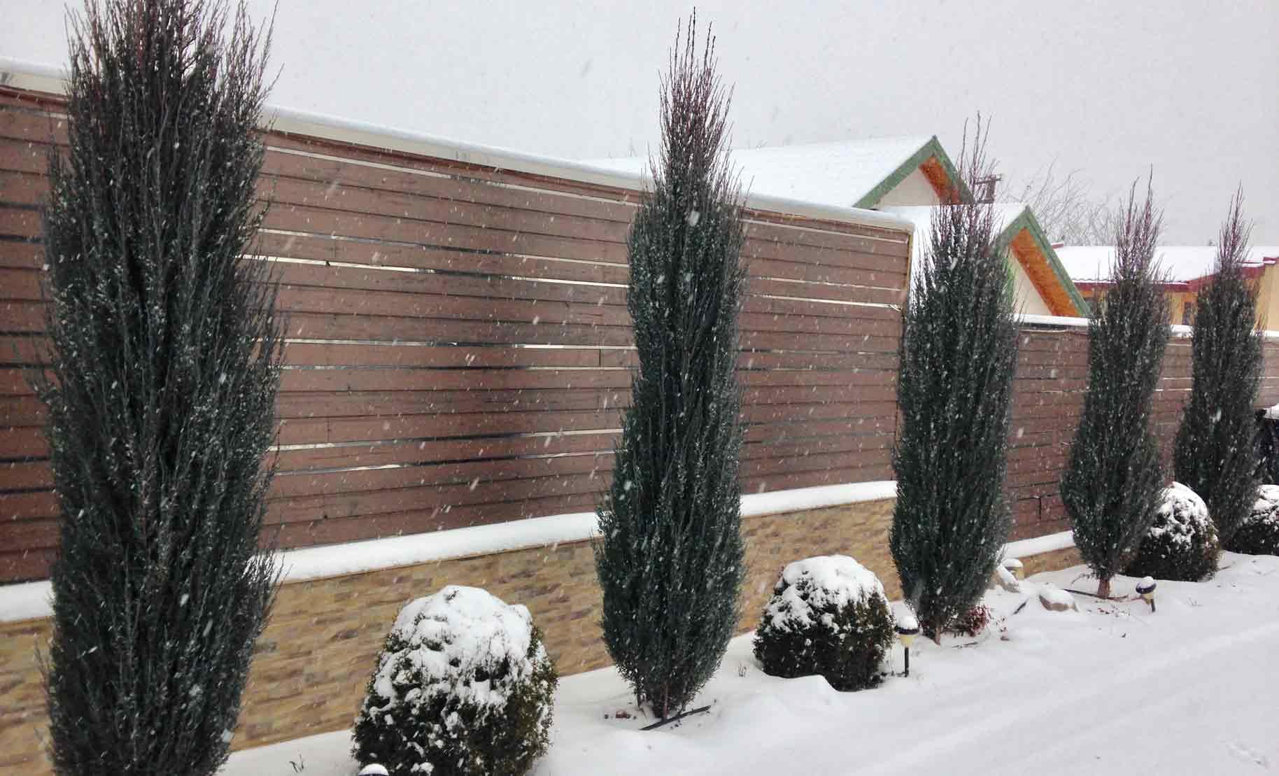 coniferile in timpul iernii